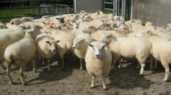 Irish sheepmeat exports to the UK have increased
