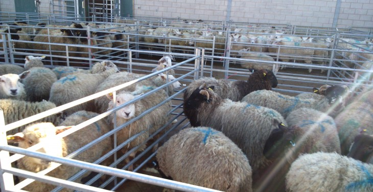 Sheep Marts: Wet weather keeping the lamb trade lively