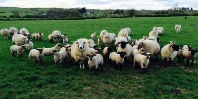 sheep nice