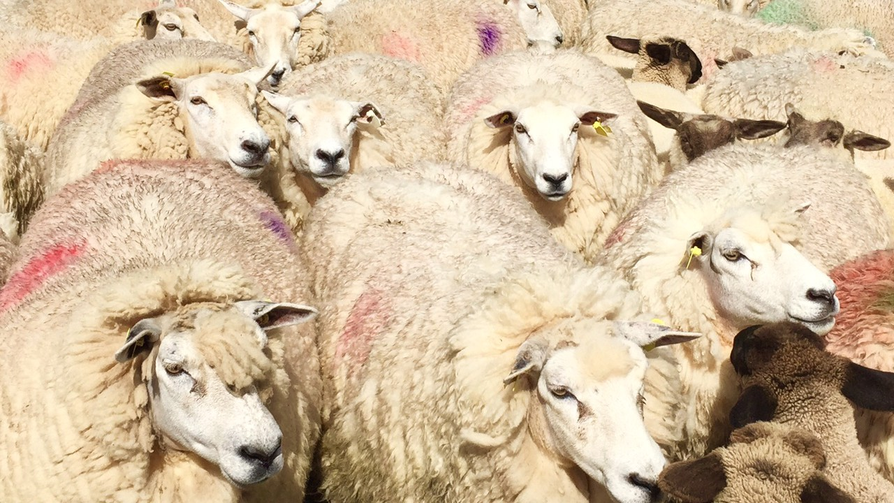 Hundreds of sheep suspected stolen in the 'Mourne' county