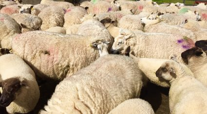 5 tips to ensure you dose sheep correctly