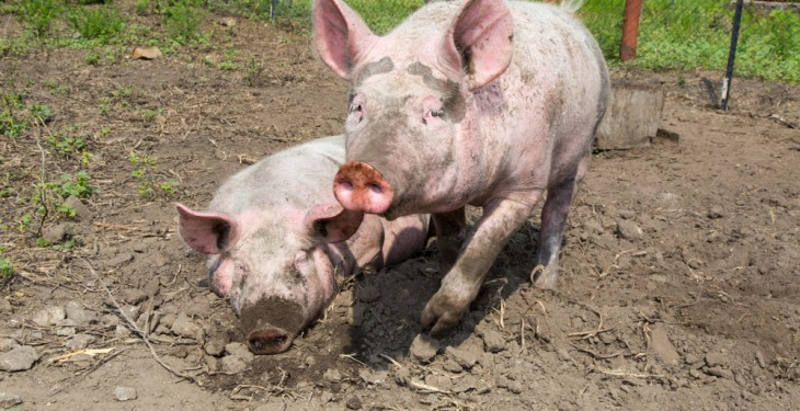 Locals object to farm plans for 30,000 pigs