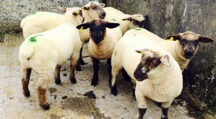 Sheep kill remains (10,000) ahead of last year