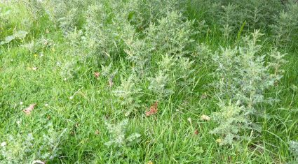 Teagasc: how to control scutch grass and thistles in the long-term