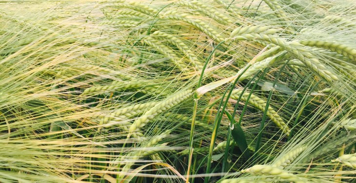 Spotlight on barley and winter wheat at ISTA cereal open day