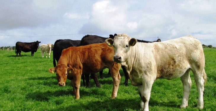 Weak euro drives top-quality weaning heifer trade – Plainer lots back