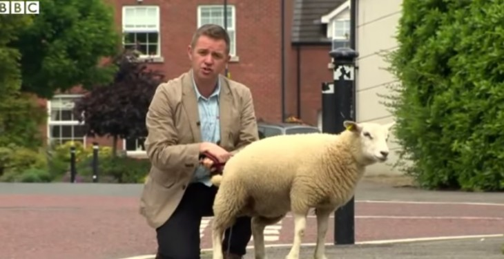 Video: BBC reporter left feeling sheepish after lamb has 'wee moment'
