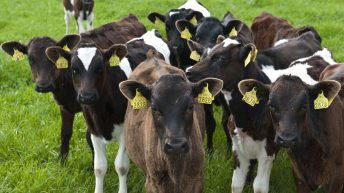 Expansion continues to drive calf numbers – Dairy births up 69,000 head