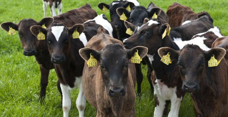 Nearly 1m dairy calves to be available to beef sector by 2020