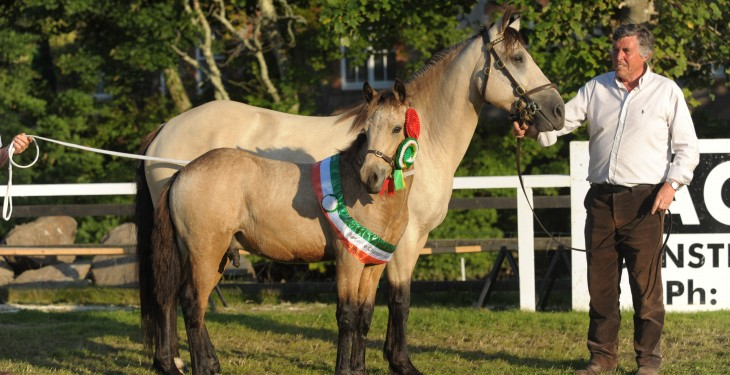 The Connemara pony: Hardened and shaped by the Atlantic