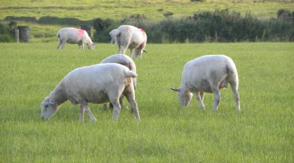 Breeding from ewe lambs; the factors affecting performance – Teagasc