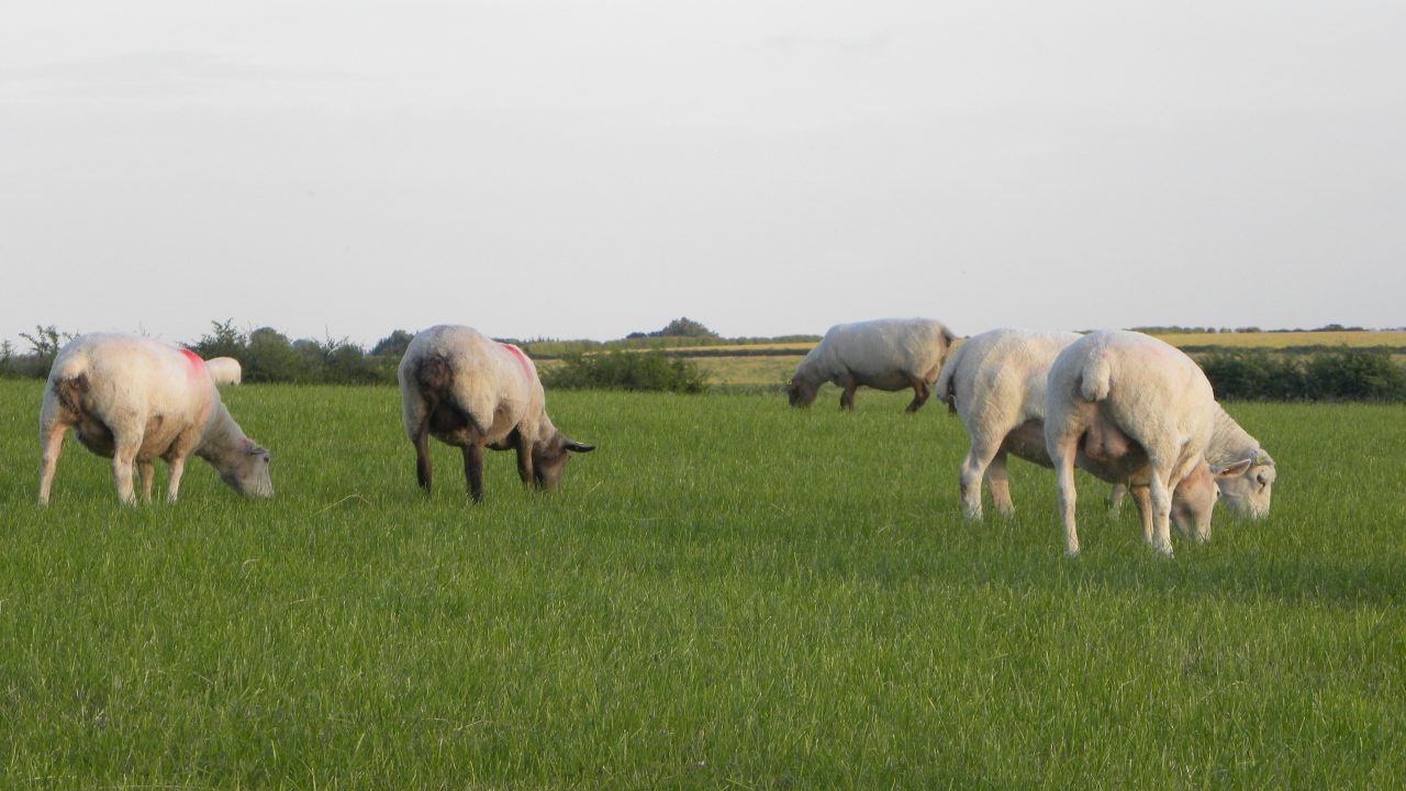French sheepmeat imports down 8% year-on-year