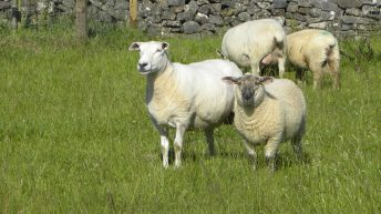 Shoppers urged to support Northern Ireland sheep farmers