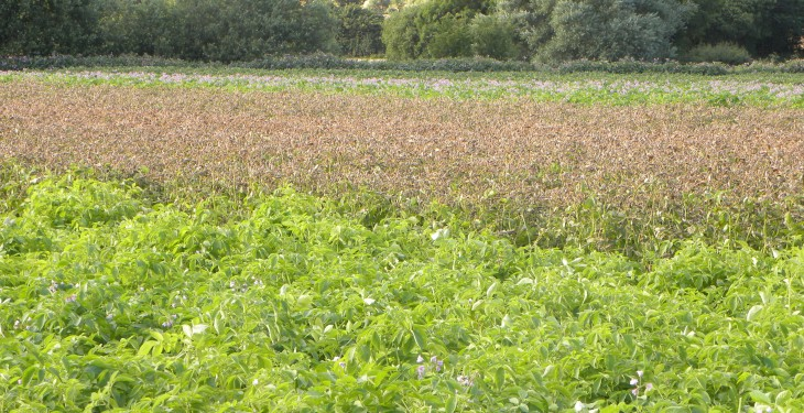 'Salad potato production is a one-horse race'