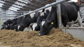 What effect will replacing grass silage with maize silage have on dairy cow performance?