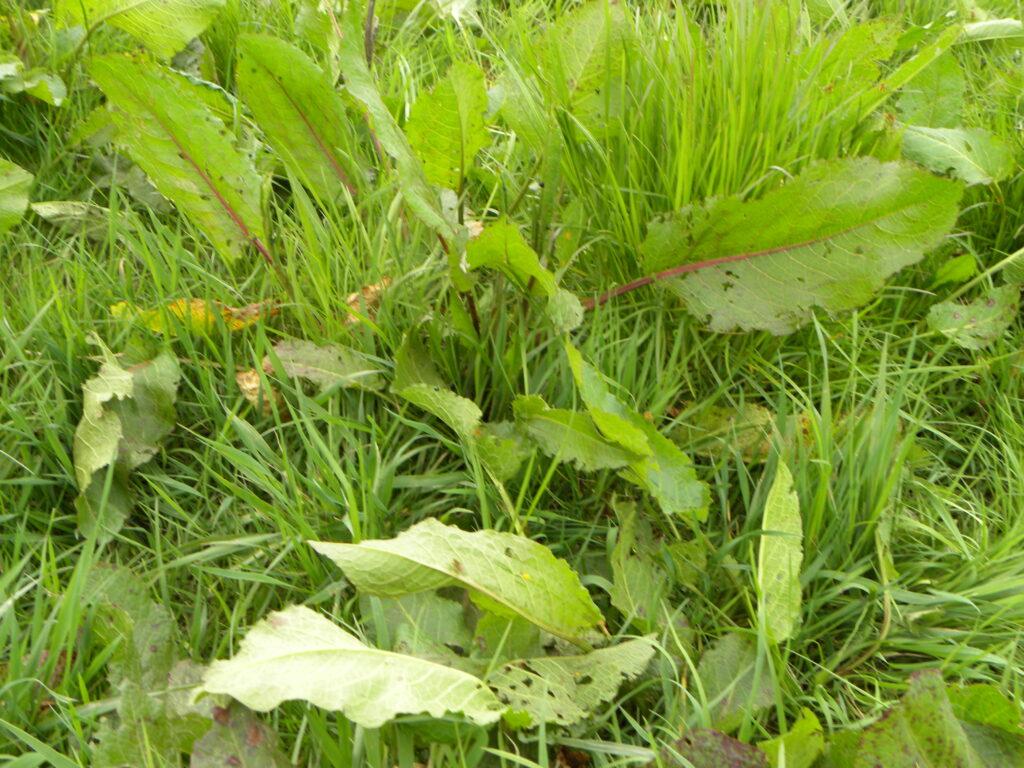 Docks weeds