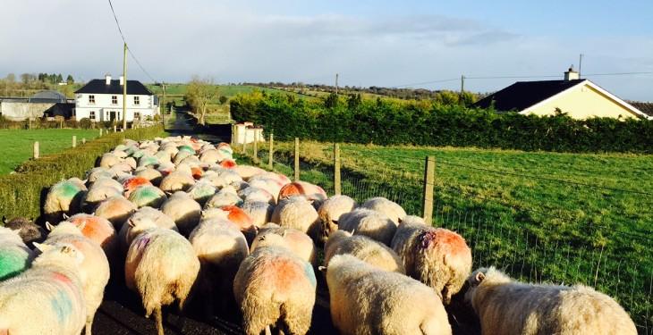 Irish sheep kill up 7,605 on last year, but down last week