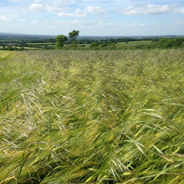 Winter barley growers advised to act now to halt the progress of Sterile Brome