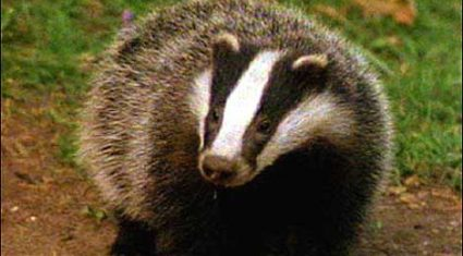 Badger baiting on the increase in the midlands, says conservation ranger