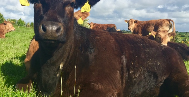 Irish beef trade remains strong – Despite French protests