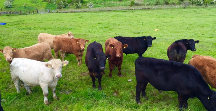 Store cattle buyers not to be found around mart rings – they're all in Galway