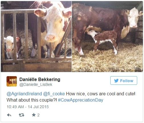 cow calf tweet