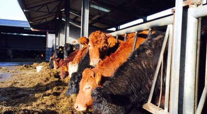 Beef Factories – Cull cows fall further as the price drops by 10c/kg