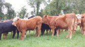 Uncertain future for Irish cattle exports to Turkey