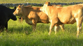 Ireland retains third place on EU cattle prices league table