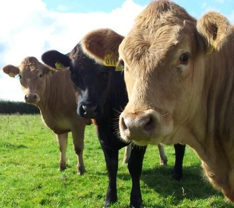 What the new beef producer groups may look like