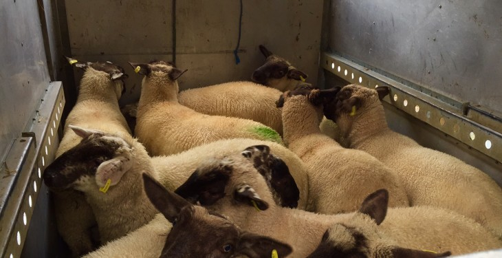 Lambs fall over €2/head as throughput rises by 25%