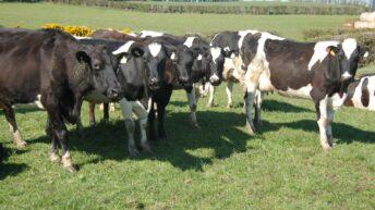 'Heifer care often overlooked in digital dermatitis management'
