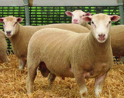 Meatlinc sheep breed showcased for the first time in Ireland