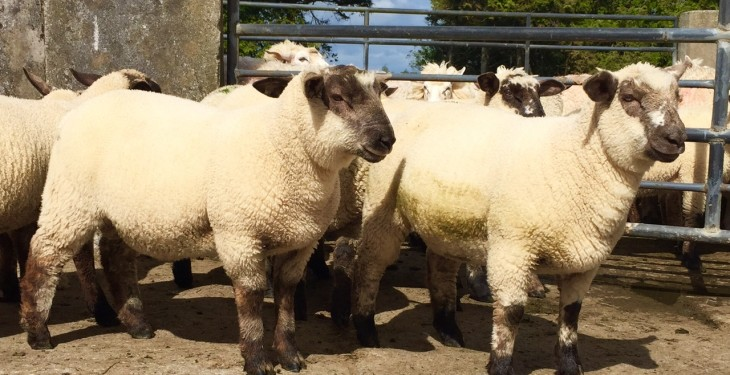 Spring lambs continue to meet a difficult trade with prices back again
