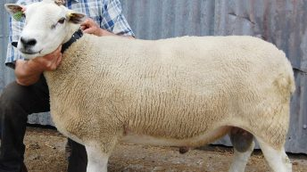 Can you afford to miss Sheep Ireland's multi-breed ram sale?