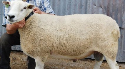 150 elite rams on offer at Sheep Ireland sale