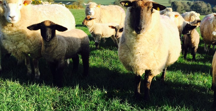 Who knew, but sheep prefer to move anti-clockwise!
