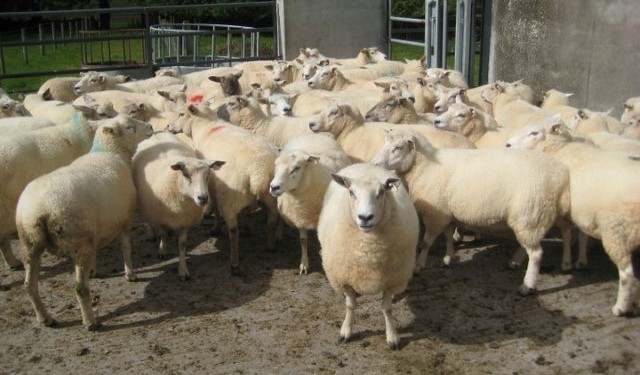 National sheep kill running 1% ahead of 2014 levels
