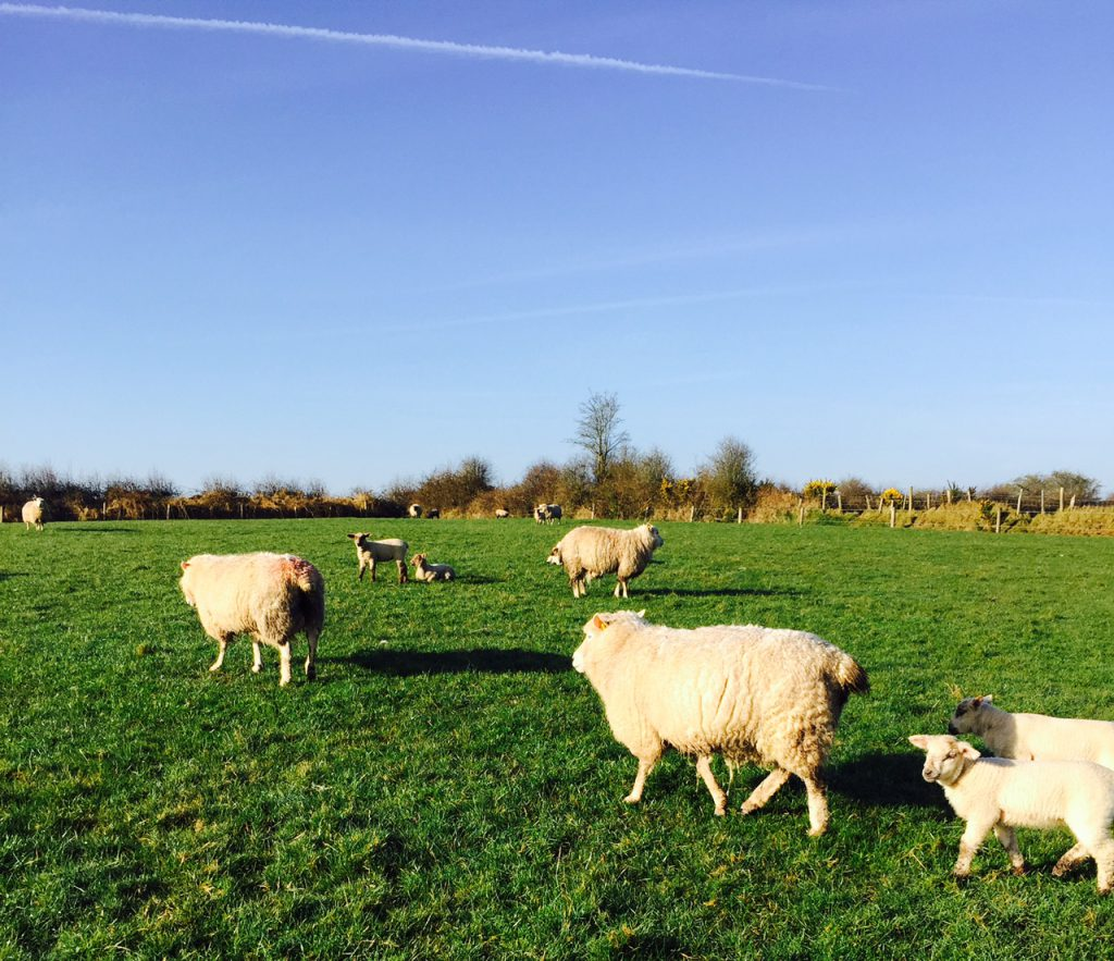 Three key metabolic diseases sheep farmers should look out