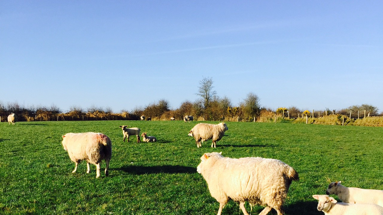 'Three key metabolic diseases sheep farmers should look out for in their flocks'