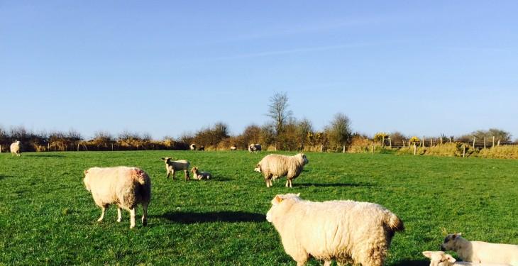 Dog kills lambs and adult sheep in 6-week series of attacks on same farm