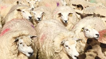 20,000 sheep farmers to benefit from 85% advance sheep welfare payments