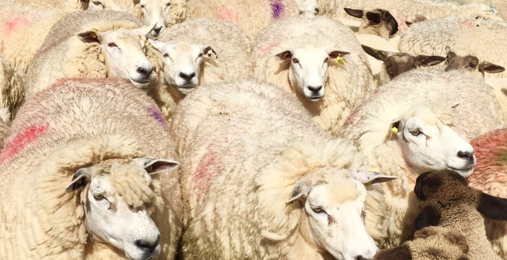 'Some sheep breeds have a higher resistance to parasites than others'