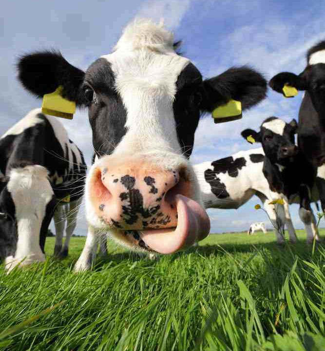 Pics: A selection of photos from Cow Appreciation Day