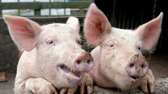 Second pig farm in Northern Ireland to have output of 40,000 pigs