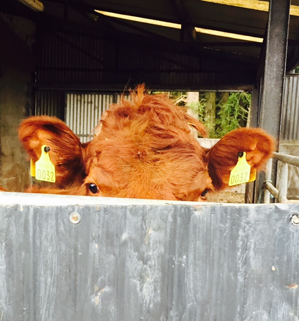 ICSA urges farmers to set €4/kg as minimum price for beef cattle