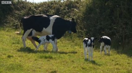 Cow gives birth to triplets – defies odds of one million to one