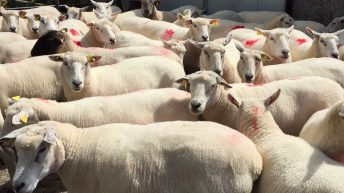 New Zealand lamb exports increase in June (down in H1)