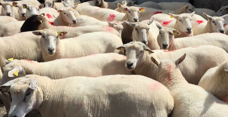 National sheep kill 5% ahead of same week last year