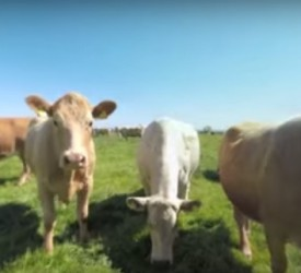 Video: Get up close and personal with some cows